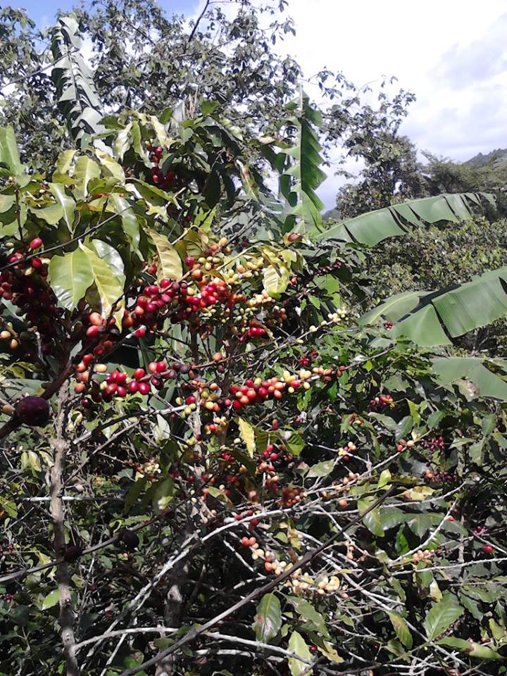 The ripening of my brother's coffee beans
